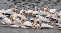 Pelican Details (BKHagar *Kim*) Tags: white pelicans nature water birds river al alabama pelican athens migration waterfowl clements elkriver bkhagar