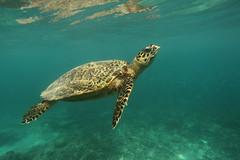 Hawksbill Turtle, Gili Tranwangan (Daniel Trim) Tags: sea swimming island islands underwater turtle diving hawksbill snorkelling gili trawangan