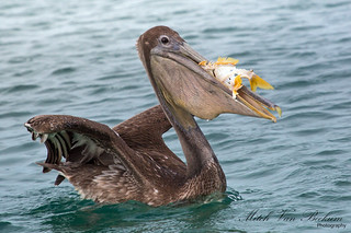 More than a mouthful (Brown Pelican)