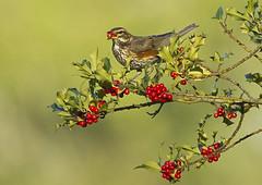 Redwing_6254 (Peter Warne-Epping Forest) Tags: bird ngc npc overwintering thrush redwing turdusiliacus winterwatch winterthrush