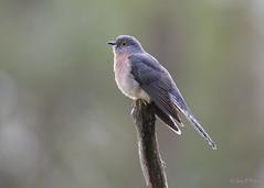 Fan-tailed Cuckoo (Greg Miles) Tags: australia nsw newsouthwales fantailedcuckoo cacomantisflabelliformis calga
