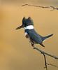 BELTED KINGFISHER (sea25bill) Tags: california morning blue winter sun lake bird branch perch beltedkingfisher