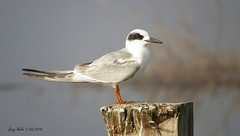 Forster's Tern (Gary Helm) Tags: usa fish bird nature water birds canon outside us unitedstates florida wildlife insects northamerica marsh tern centralflorida polkcounty forsterstern coastalareas circlebbarreserve marshrabbitrun johannreinholdforster sternide wadingbirdwaytrail commashapedearpatch