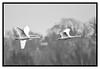 IMG_0035 (wessyfiesta) Tags: nature wings flight swans cygnus anatidae