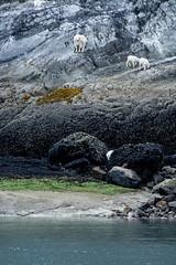 _MG_4334a (markbyzewski) Tags: alaska kids ugly mountaingoats glacierbaynationalpark