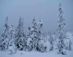 Trees in winter 2 (bjorbrei) Tags: trees winter snow cold norway norefjell