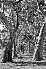 American River mono (Mariasme) Tags: monochrome blackandwhite americanriver kangarooisland southaustralia trees fotocompetitionbronze favescontestwinner favoured 15challengeswinner