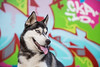 7/52 Athena (Gertrude139) Tags: portrait blackandwhite dog smile wall pose underpass outside happy graffiti husky outdoor siberianhusky siberian sibe bieyed