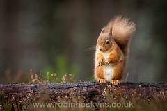 Red Squirrel! ([[BIOSPHERE]]) Tags: uk nature scotland wildlife redsquirrel cairngormnationalpark