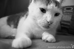 Sleepy (karin8700) Tags: white black cat chair nikon tabby sleepy tucker d40x