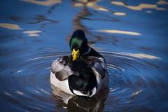 US Botanical Gardens (Christy Hibsch ( Christy's Creations on Facebook )) Tags: washingtondc dc wildlife mallard botanicalgardens
