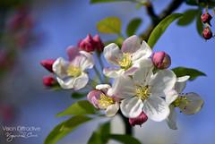 French Hanami 花見 ((Virginie Le Carré)) Tags: macro printemps hanami floraison
