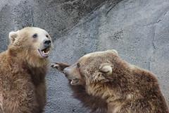 Throat Punch! (dksaesmas) Tags: bear animal mammal zoo south columbia carolina riverbanks