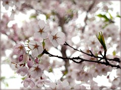 Looking forward to the good weather... (Vratsagirl) Tags: spring blossoms whiteblossoms pinkblossoms blossomingtrees
