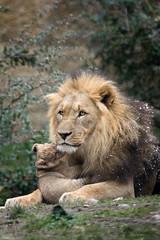 male lion with cub (Cloudtail the Snow Leopard) Tags: zoo basel tier animal säugetier mammal cat big katze groskatze raubkatze lion löwe panthera leo male cub kitten young jung litter flickrbigcats cloudtailthesnowleopard