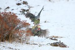 Blood Pheasants Fighting (Calidris!) Tags: trek bhutan chomolhari jhomolhari bloodpheasant ithaginiscruentus