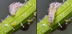 Syrphid Fly Larvae eating aphid (Andyfrog321) Tags: macro andy up bug insect fly fight baker close small eat tiny larvae aphid arthropods smallcreature syrphid