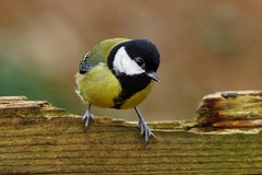 Great tit (P_1_B) Tags: nature wildlife sigma isleofwight greattit sigma150500 sonya77 slta77 slta77v sonya77v arretonmeadsnaturereserve