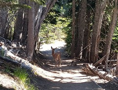 Young deer on my trail