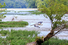 Heron with fish (the_dead_pixel) Tags: fish heron virginia unitedstates greatfalls mclean glide catchingfish