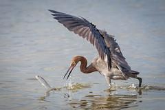 Game On (gseloff) Tags: reddishegret mullet bird fish feeding surf wildlife bolivarflatsshorebirdsanctuary houstonaudubonsociety galvestoncounty texas gseloff