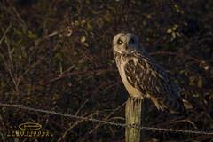 farlingtonmarshes18022017 owl owls shorteared wildlife hampshire farlington canon1dmkiv canonef500mmf4lisiiusm uk britishbirds birdofprey
