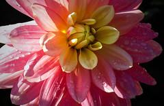 Dahlia (San Francisco Gal) Tags: giverny dahlia flower fleur bloom blossom waterdroplet macro