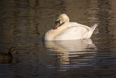 swan lake (warren.bottomley) Tags: swan lake coombeabbey