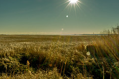 Marsh grasses blowing in the wind, beneath a bright sunny sky (G.D. Jewell II) Tags: millsboro delaware thepeninsula beach lensflare grass nature sky sun light march d3400 nikon gdjewellii natura bright art america usa morning photo davejewell georgejewell 1855mm kitlens color sunlight ocean sea water sunshine primavera landscape foramberwavesofgrain