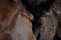 WE TWO ARE ONE (DESPITE STRAIGHT LINES) Tags: horses horse animal togetherness nikon flickr day clear equine stables loveis equines twohorses paulwilliams daniellowe thebond twohearts nikon50mm d700 nikond700 nikongps nikongp1 despitestraightlines newbarnstables natashalowe gorseshead twohorsesinafield