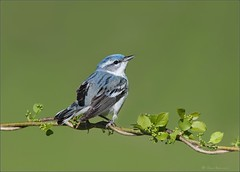 Cerulean Warbler (Daniel Behm Photography) Tags: bird nature wildlife warbler cerulean smallbird ceruleanwarbler brecksville behm brecksvillereservation danielbehm