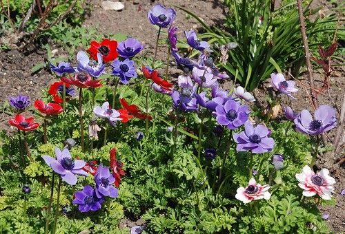 Gloucestershire, Highnam Court - Anemones