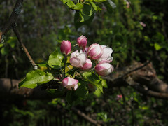 fl201305-8 (alustar99 - offline) Tags: pflanzen blüte apfel malusdomestica