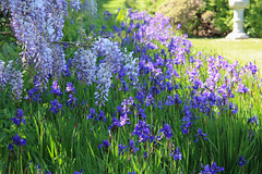 Nymans (Mabacam) Tags: flowers iris plants garden purple surrey nationaltrust wisteria nymans