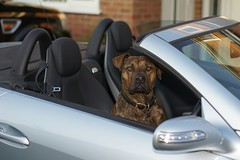 I'm off cruisin' (RokShots) Tags: travel art dogs car animals sony photostream artisticphotos naturesfinest wonderworld sonyalpha diamondclassphotographer theperfectphotographer
