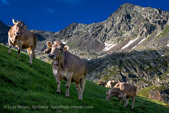 Andorra nature: Vall nord (lutzmeyer) Tags: pictures summer lake mountains color nature true animals rural landscape photography tiere kuh montana wasser europe cows photos pics sommer natur july natura paisaje images berge pasto fotos valley julio verano juli region landschaft andorra juliol bilder imagen pyrenees tal kühe vaca iberia montanas estiu pirineos pirineus iberianpeninsula gebirge paisatge pyrenäen imatges vaques muntanyes landkreis vallnord pastureland arcalis pastura viehweide weideland gebirgszug iberischehalbinsel viehhaltung ordinoparroquia lutzmeyer lutzlutzmeyercom bassesdelportderatarcalis