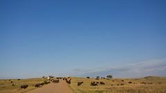 locals (cskazmer) Tags: sky southdakota prairie bison buffalogapnationalgrasslands cskazmer