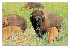 Bison (lindapp57) Tags: iowa bison neilsmithwildliferefuge