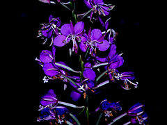 Flowers in the Dark (JaelMClay) Tags: flowers white black flower dark stem purple