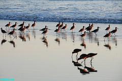 Shorebirds241 (mcshots) Tags: ocean california sunset sea summer usa beach water birds reflections stock socal mcshots southbay shorebirds losangelescounty