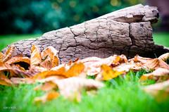 280 ~ 365 (BGDL) Tags: autumn fall grass leaves garden driftwood 365 autumnal moreleaves 365project nikond7000 lightroom4 bgdl nikkor50mm118g cy365