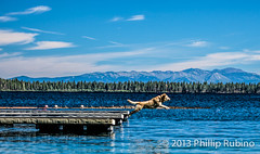 Dog jumping off dock in a blue lake (Phillip Rubino) Tags: family vacation nature relax fun outdoors photographer natural bluewater july laketahoe bluesky leisure relaxation relationships freshwater 2013 rubinophillip philliprubino httpwwwflickrcompeoplephilliprubino