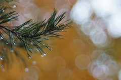autumn rain (gwuphd) Tags: autumn color fall rain bokeh 100mm f28 pineneedle raindrop gorlitz meyeroptik