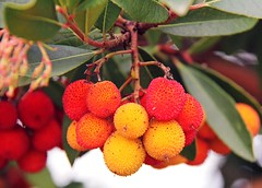 Warty Berries! (RiverCrouchWalker) Tags: november autumn red orange yellow fruit berries shrub essex strawberrytree arbutusunedo warty 2013 stambridge