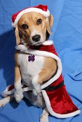 i saw mommy kissing santa claus (explore) (DOLCEVITALUX) Tags: santa christmas dog beagle costume carol purebreed