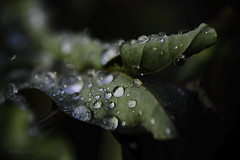 just drops (ΞLLΞ∩) Tags: nature water leaves drops