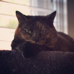 Harriet the Inscrutable (liquidnight) Tags: camera cats pets cute animals eyes nikon bokeh thoughtful tortoiseshell harriet mysterious felines paws katzen inscrutable d90 instagram uploaded:by=flickrmobile flickriosapp:filter=nofilter