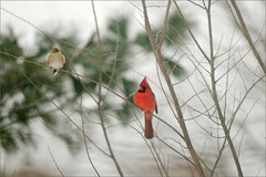 (joeldinda) Tags: winter tree birds raw branch cardinal goldfinch finch imissyou d300 joeldinda butimgone