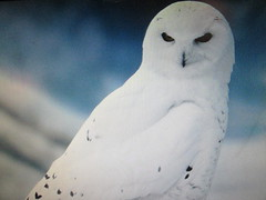 Harfang des Neiges, Snowy owl.... (chanelchat Rachel) Tags: winter nature birds canon season snowyowl whitecolour harfangdesneiges chanelchat vigilantphotographersunite vpu2 vpu3 vpu4 vpu5 vpu6 vpu7 vpu8 vpu9 vpu10