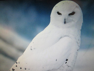 Harfang des Neiges, Snowy owl....